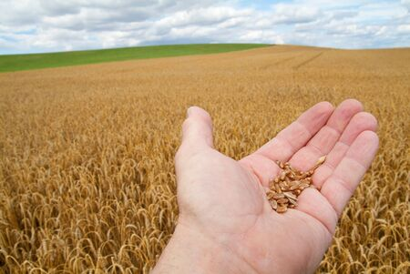 hand with wheat grains