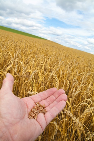 hand with wheat grains in portrait