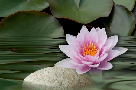 water lilies bloom with stone