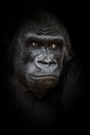 Portrait of gorilla on the black background