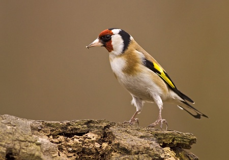 European Goldfinch (Carduelis carduelis) sitting on a wood