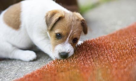 Foto de Naughty jack russell pet dog puppy chewing a red plastic door mat - Imagen libre de derechos