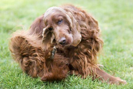 Photo pour Cute furry irish setter pet dog scratching itching in the grass - image libre de droit