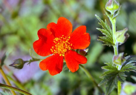 The Scarlet flower.The Bright flower bright, red, five petals. The Festive postcard.