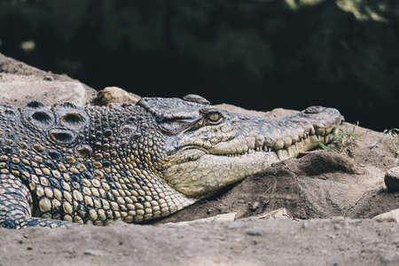 Photo pour Saltwater crocodile (Crocodylus porosus) or Saltwater crocodile or Indo Australian crocodile or Man-eater crocodile. sunbathing at the swamp. - image libre de droit