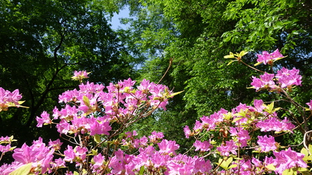 Korean pink azalea Rhododendron poukhanense Levl in the park in the park on the background of green trees