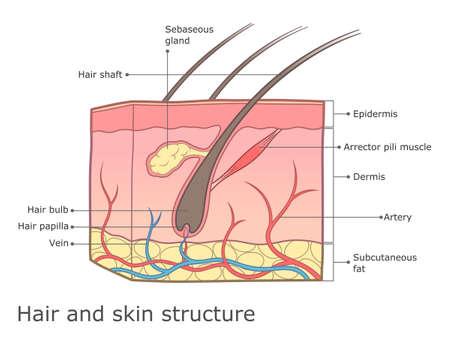 Illustration pour Human skin and hair structure medical infographic. - image libre de droit