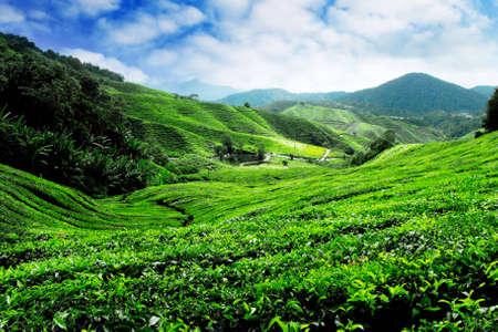 Cameron Highlands Tea Plantation Malaysia