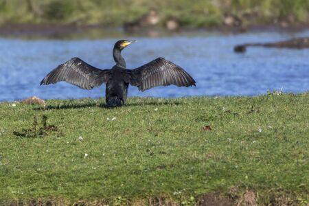 Photo pour A cormorant on a sea near Dillingen in germany - image libre de droit