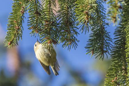 Photo pour A goldcrest on a branch is searching for fodder - image libre de droit