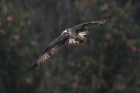 Photo pour An Osprey in flight over Forellenhof Trauntal - image libre de droit