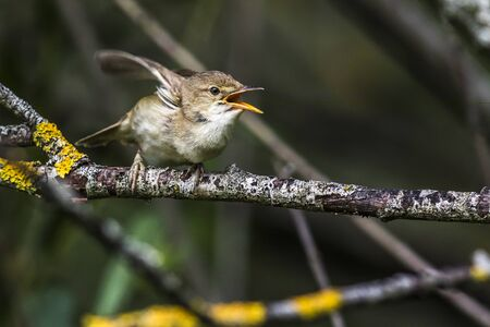 Photo pour An eurasian reed warbler is sitting on a branch - image libre de droit