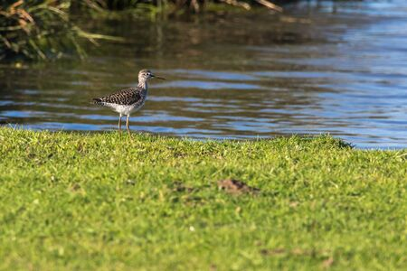 Photo pour A wood sandpiper in Beeder Biotop is searching for fodder - image libre de droit