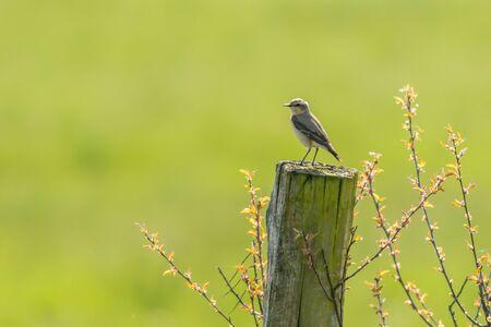 Photo pour A common wheatear is searching for fodder - image libre de droit