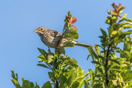 Photo pour A corn bunting is sitting on the top of a shrub - image libre de droit