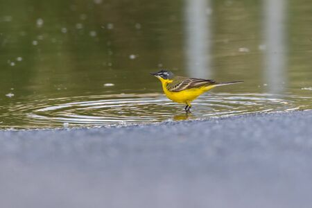 Photo pour A Western Yellow Wagtail is searching for fodder - image libre de droit