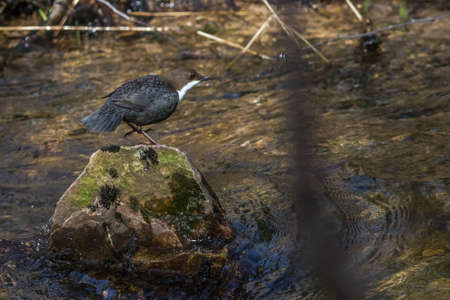 Photo pour A White-throated Dipper at Traunbach near Boerfink in Germany. - image libre de droit