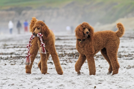 Red Poodles Play on Carmel Beach with Tug of War Toy