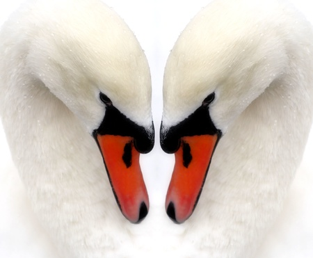Two Swans - Reflection