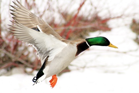 Mallard duck flying over snow covered pond