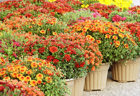 Colorful Garden Mums For Sale
