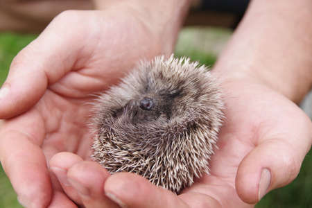 Photo pour Hedgehog in the man palms. A Little cute hedgehog baby in his hand asleep. Human care and assistance to wild animals - image libre de droit