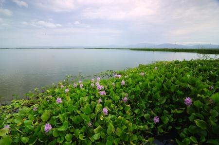 Common Water Hyacinth (Eichhornia crassipes) on Lake Limboto, Gorontalo, Indonesia