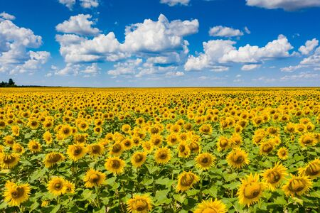 Photo pour field of blooming sunflowers with blue sky on background - image libre de droit