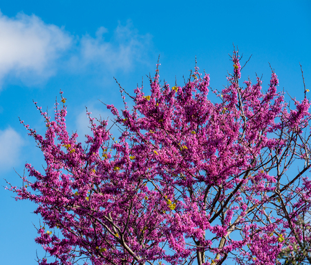 Photo for Blooming redbud tree under the blue sky - Royalty Free Image