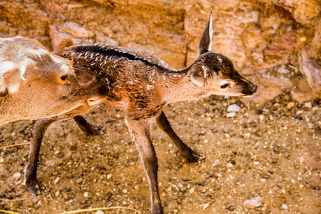 deer with maternal instinct