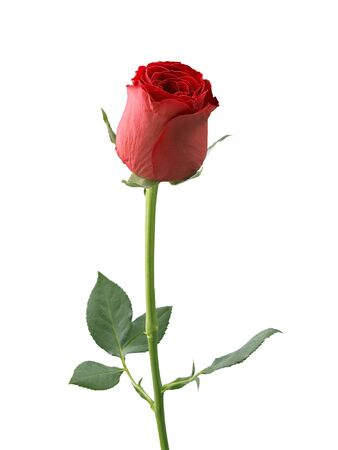 Photo for red rose isolated on white background - Royalty Free Image