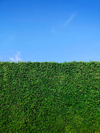Photo pour Green grass wall texture and bright blue sky - image libre de droit
