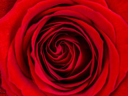Photo pour Petals of a rose close up view - image libre de droit