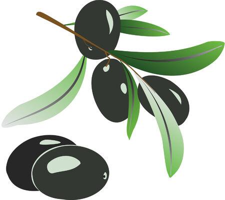 Vector illustration of olive branch with black olives on white