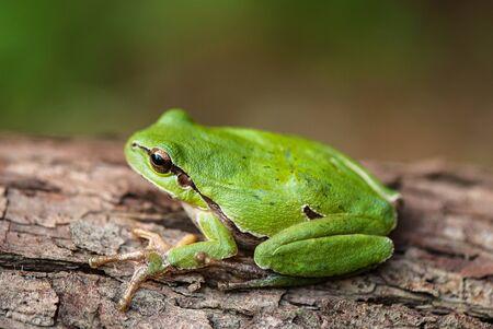 Foto de green tree frog on a tree bark covered with lichen - Imagen libre de derechos