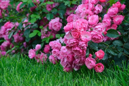 Flowering pink roses in the garden, shallow depth of field