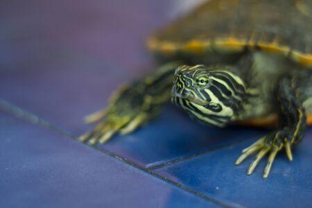 Foto de Domestic turtle - Imagen libre de derechos