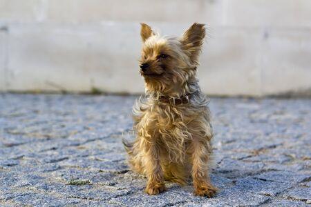 Foto de Yorkshire terrier sitting on the street - Imagen libre de derechos