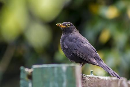 Foto de Eurasian blackbird portrait - Imagen libre de derechos