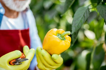 Photo pour Senior agronomist collecting yellow peppers in the hothouse of a small agricultural farm, close-up view - image libre de droit