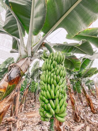 Photo for Beautiful banana plantation with rich harvest ready to pick up. Image made on mobile phone - Royalty Free Image