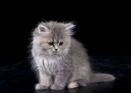 Grey Kitten over black backgroun