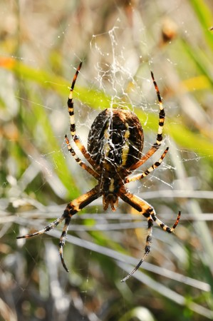 A wasp spider (Argiope bruennichi) in her net.