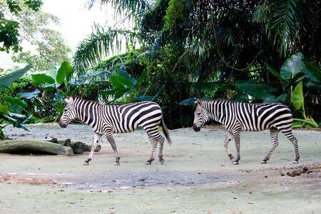 Zebra Walk