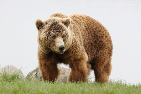 Brown bear in nature