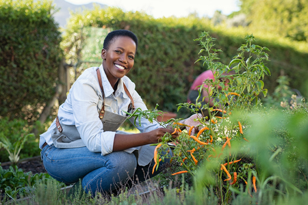 Photo pour Portrait of mature woman picking vegetable from backyard garden. Cheerful black woman taking care of her plants in vegetable garden while looking at camera. Proud african american farmer harvesting vegetables in a basket. - image libre de droit