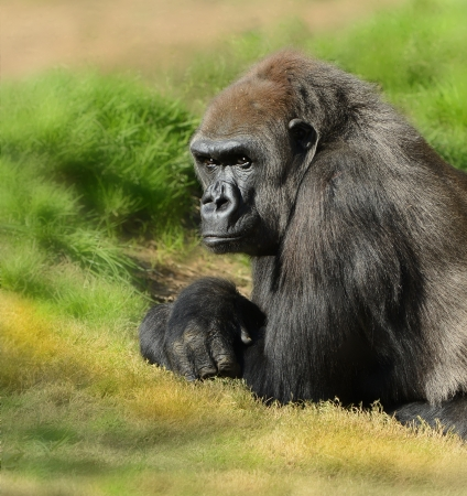 Very Nice Image of a Silverback Gorilla