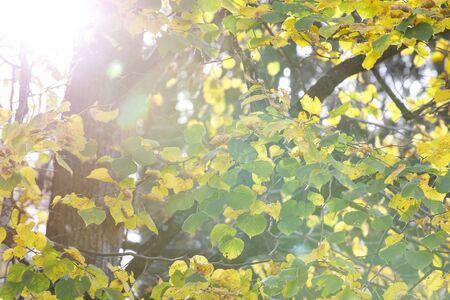 Photo pour Closeup of yellow tree leaves in autumn - image libre de droit