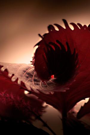 Foto per foglie rosse, linee curve, colori, particolari pianta - Immagine Royalty Free