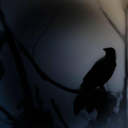 Foto per sfondo con cornacchia grigia - Immagine Royalty Free